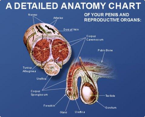 Detail Anatomi Penis