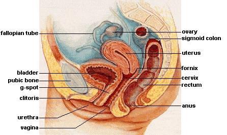Anatomi Sistem Reproduksi Perempuan