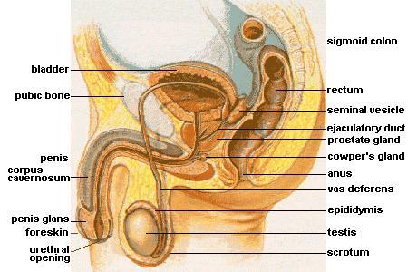 Anatomi Sistem Reproduksi Laki-laki