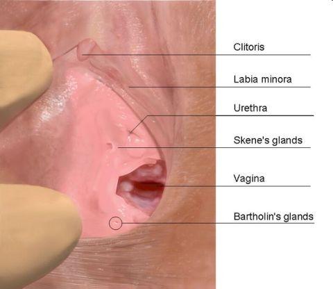 Anatomi Vagina (Sumber: wikipedia)